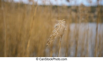 Dry grass on the lake