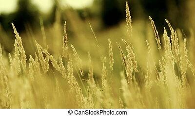 Dry grass on the meadow. Autumn ti