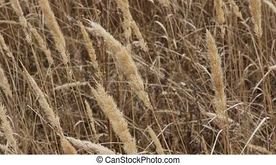 Dry grass on the meadow. Autumn tim