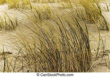 dry grass on the sea sand, sand dunes of the coastal strip