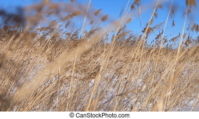 dry grass on the wind during the winter