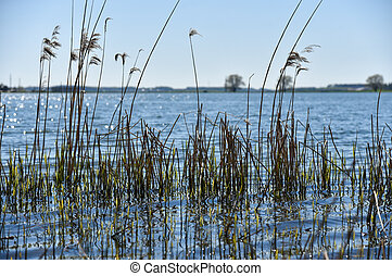 Dry grass reeds growing in lake water.