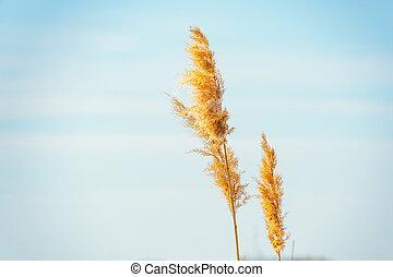 Dry grass swaying in the wind. Phalaris arundinacea or Reed...