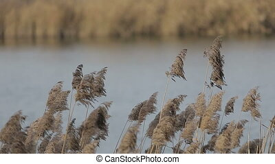 Dry grass swaying on the wind at sunset vintage warm colors and lake in the woods on background