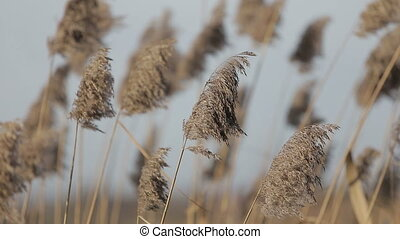 Dry grass swaying on the wind at sunset vintage warm colors