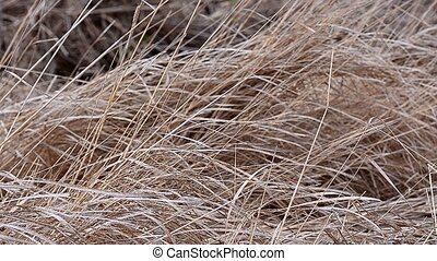 Dry grass sways in the wind