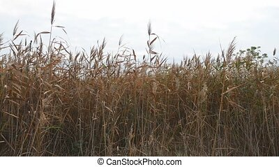 dry grass sways marsh in wind on a gray sky background nature