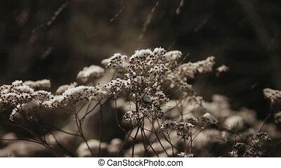 Dry grass under snow - frozen plant under snow in Winter dry...