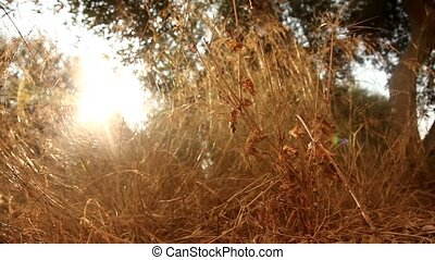 Dry Grass with Sun