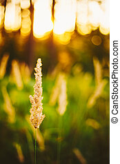 Dry Green Grass Field In Sunset Sunlight. Beautiful Yellow Sunri