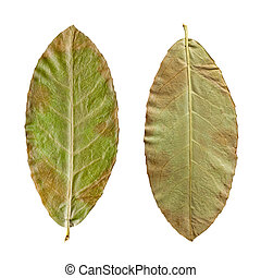 dry green leaves on the white background
