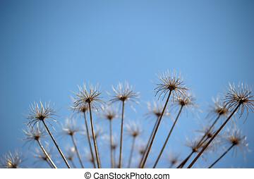 Dry herb Hogweed