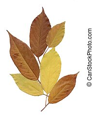 Dry herbarium leaves on white background. - Dry herbarium...