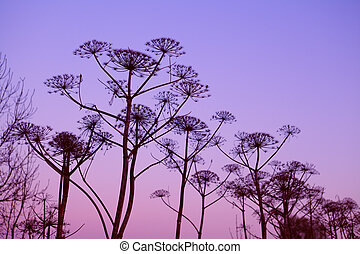 dry hogweed flowers at sunset - dry hogweed flowers over ...