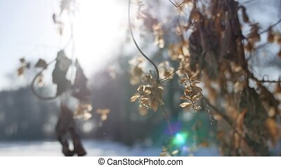 dry hops sun glare winter forest nature the landscape - dry...