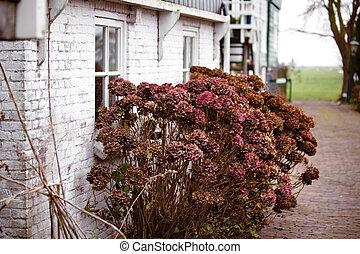 Dry hydrangea flower bush near rural brick house