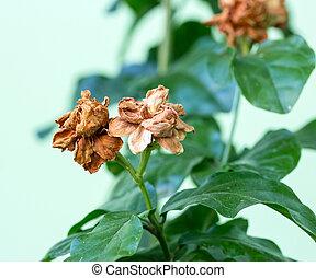Dry Jasmine flower on tree, Jasminum sambac, Family Oleaceae from Central of Thailand
