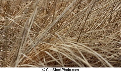 Dry last years grass shivering in wind. Symbol of forgotten...