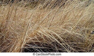 Dry last years grass shivering in wind. Symbol of forgotten ...