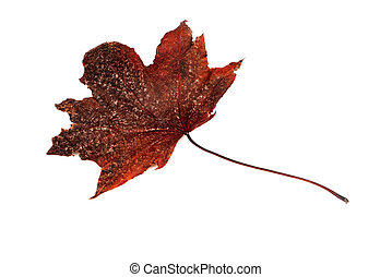 Dry leaf closeup on the white background