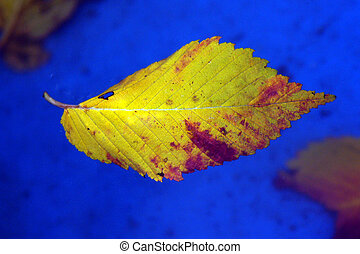 Dry leaf floats on the surface of the water