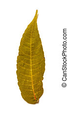 dry leaf on a white background