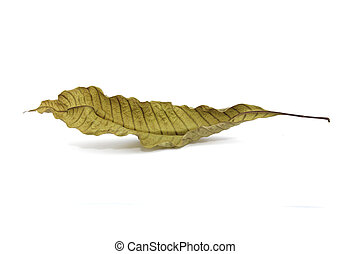 Dry leaf on a white background with shadow