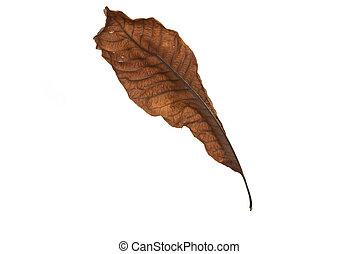 Dry leaf on white background