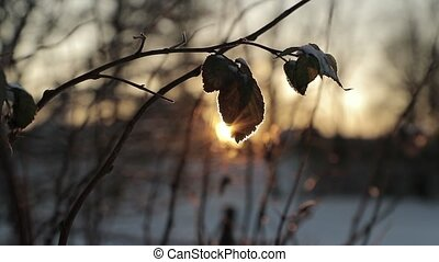 Dry leaves against a background of bright sun in winter. slow motion video