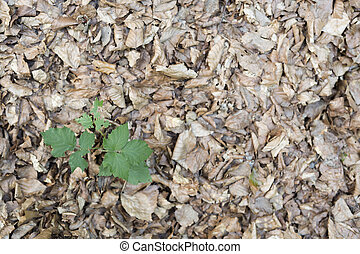 Dry leaves in a beech forest of the Irati Forest