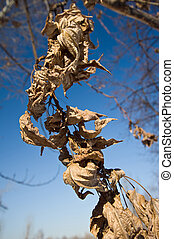 Dry leaves on blue sky background. Spring.