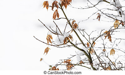 Dry leaves on tree branch with snow