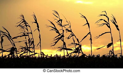 Dry mais landscape in the wonderful sunset light