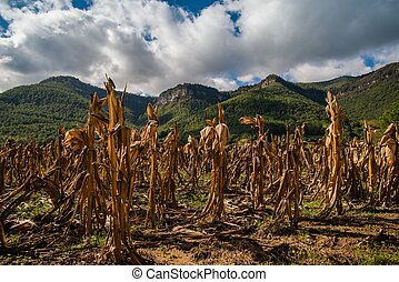 Dry maize field view