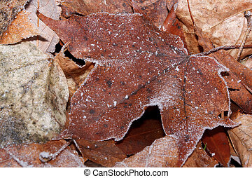 Dry maple leaf covered with hoarfrost. Close up.