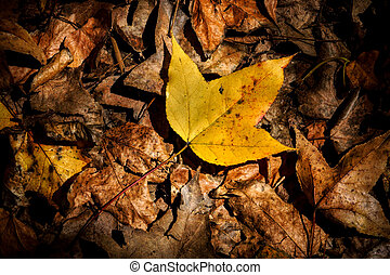 Dry maple leaves fall on the ground in autumn.