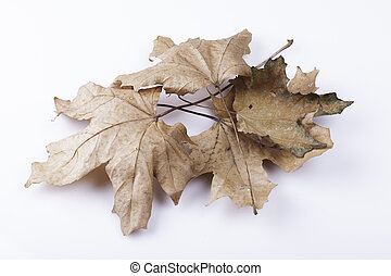 dry maple leaves on a white background