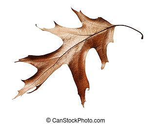 dry oak leaf isolated on white background