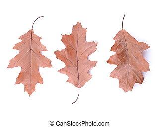 dry oak leaf on a white background