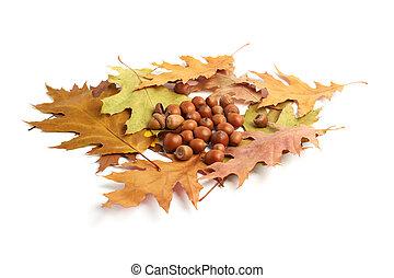dry oak leaves and acorns on white