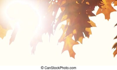 Dry oak leaves and sunshine. Close up. Brown leaves...