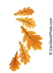 Dry oak leaves isolated over white background