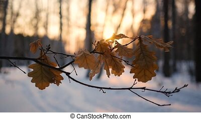dry oak leaves on the tree in winter landscape at sunset