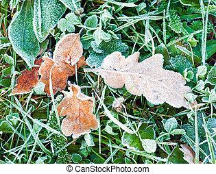 Dry oak leaves with hoarfrost