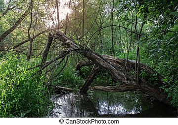 Dry old tree in forest near pond