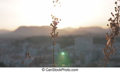 Dry plant against the city and sunset - Close-up shot of dry...