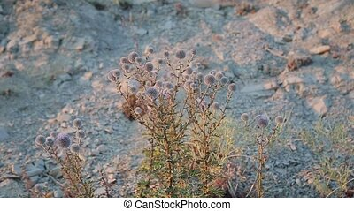Dry plant on the cliff close-up.