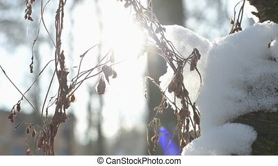 Dry plant trembling, winter. Sunlight and snow.