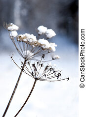 Dry plant with snow