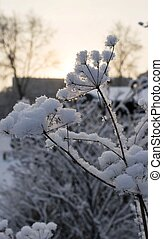 dry plants covered with snow in the rays of evening sun